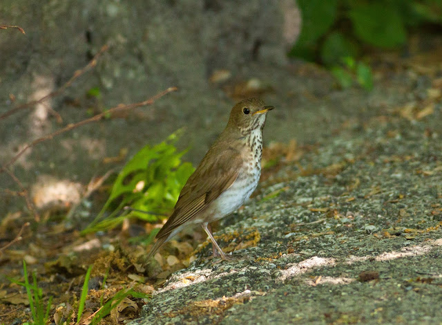 Gray-cheeked Thrush - Central Park, New York