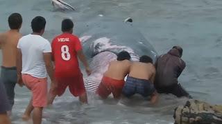 Balena arenata su una spiaggia cilena salvata dai pescatori - Video