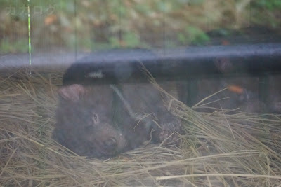 多摩動物公園のタスマニアデビル