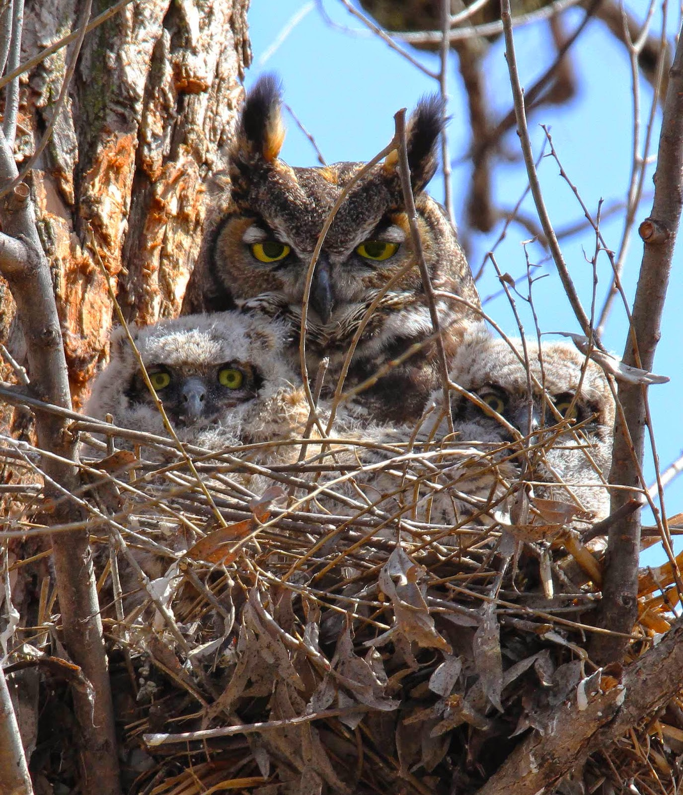All Of Nature Great Horned Owl Babies Growing Fast