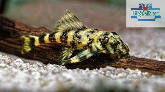 Lele Kaca atau Glass Catfish