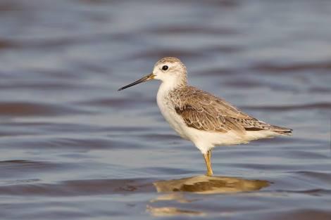 sandpiper bird facts in hindi