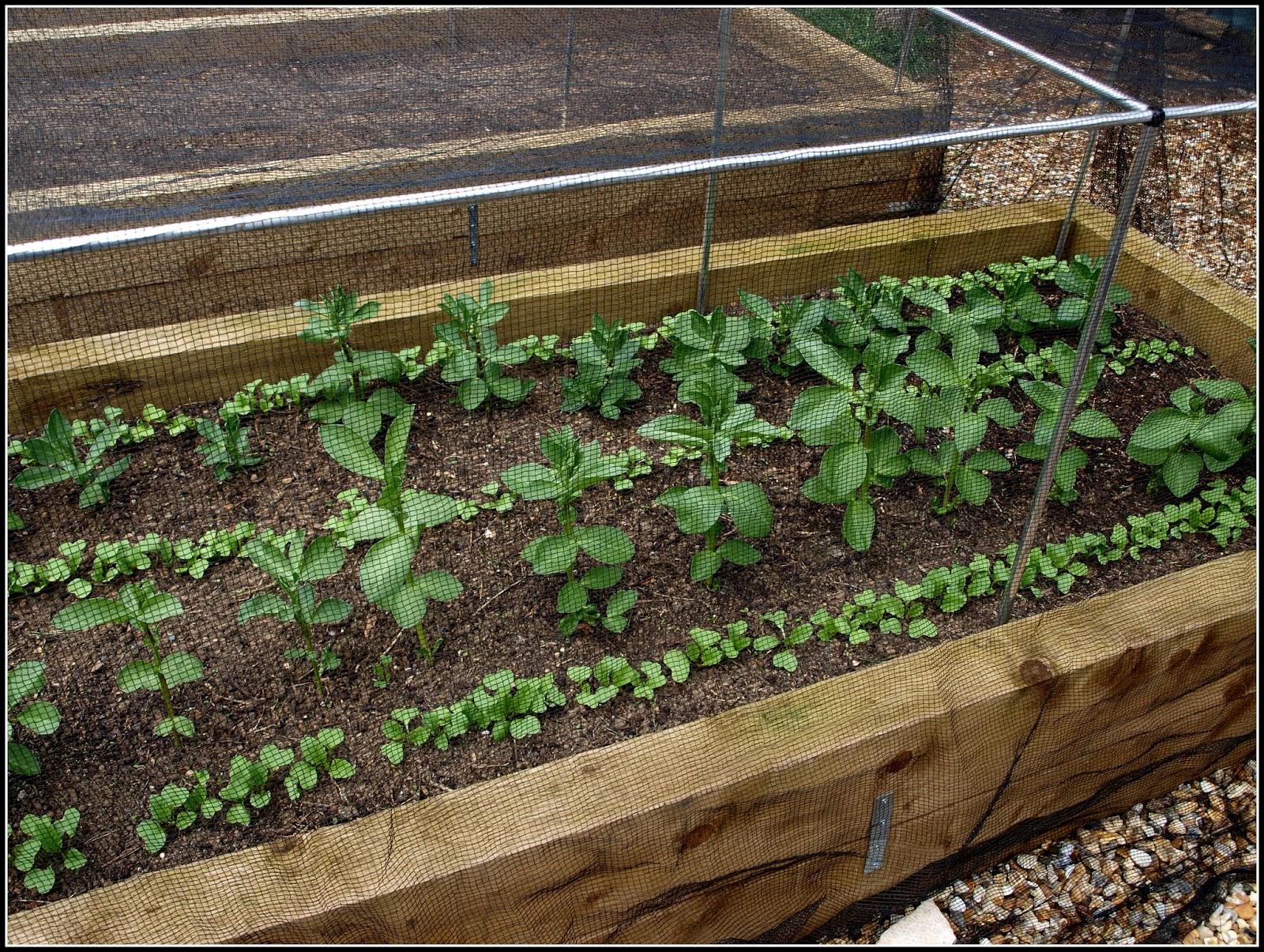 Mark\'s Veg Plot: Broad Beans and Radishes