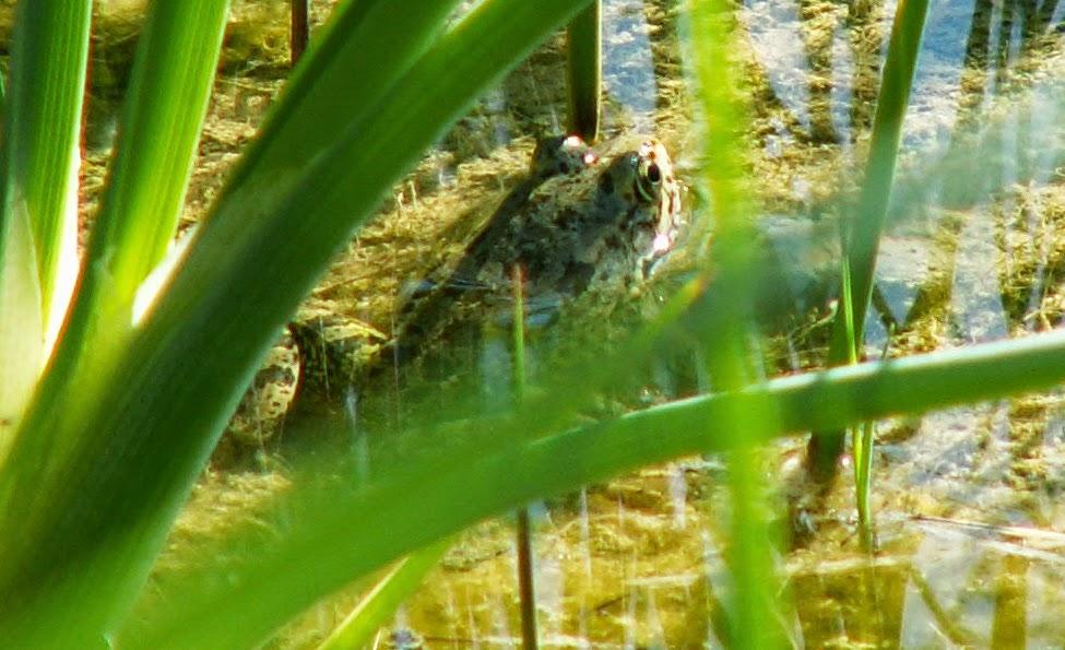 C+120806+Cretan+Marsh+Frog.jpg