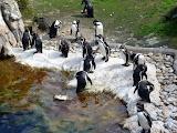 pinguini peruvieni