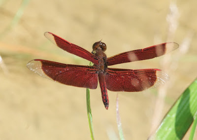 Neurothemis sp