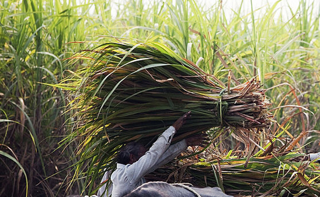 sugarcane-farmer-in-india-picture