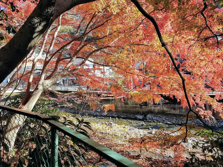 靠近河邊的楓葉樹