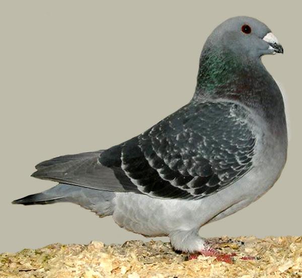American Show Racer Pigeon Breed Information | Modern Farming Methods
