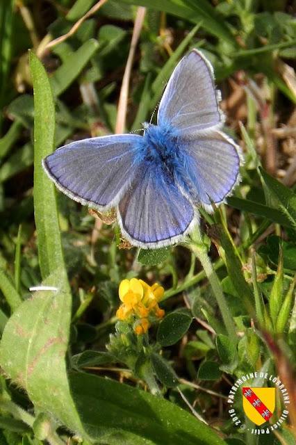 Argus bleu nacré (Lysandra coridon)