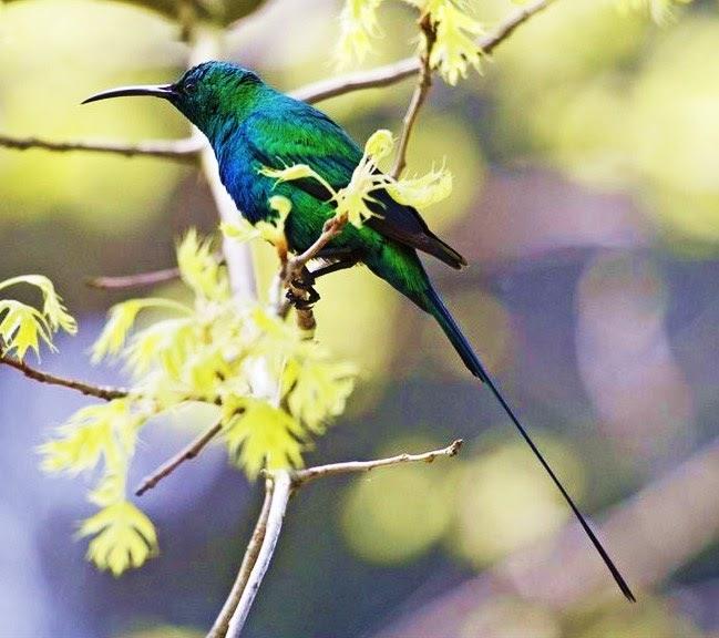 Birds Sunbird: Birds Of The World: Malachite Sunbird