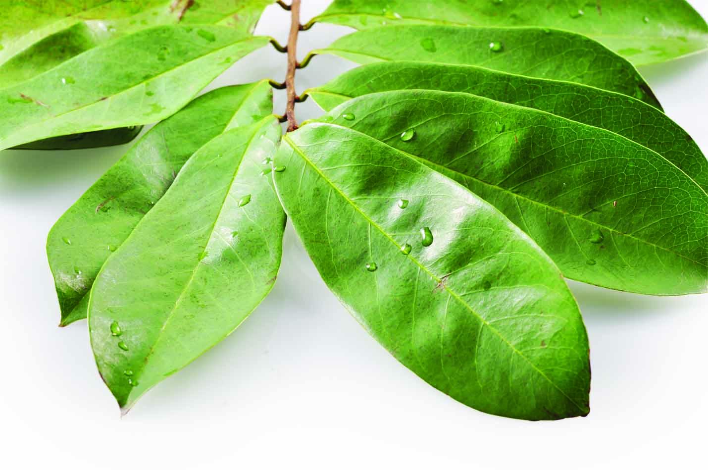 Tanaman Obat Tradisional Kanker Payudara Daun Sirsak