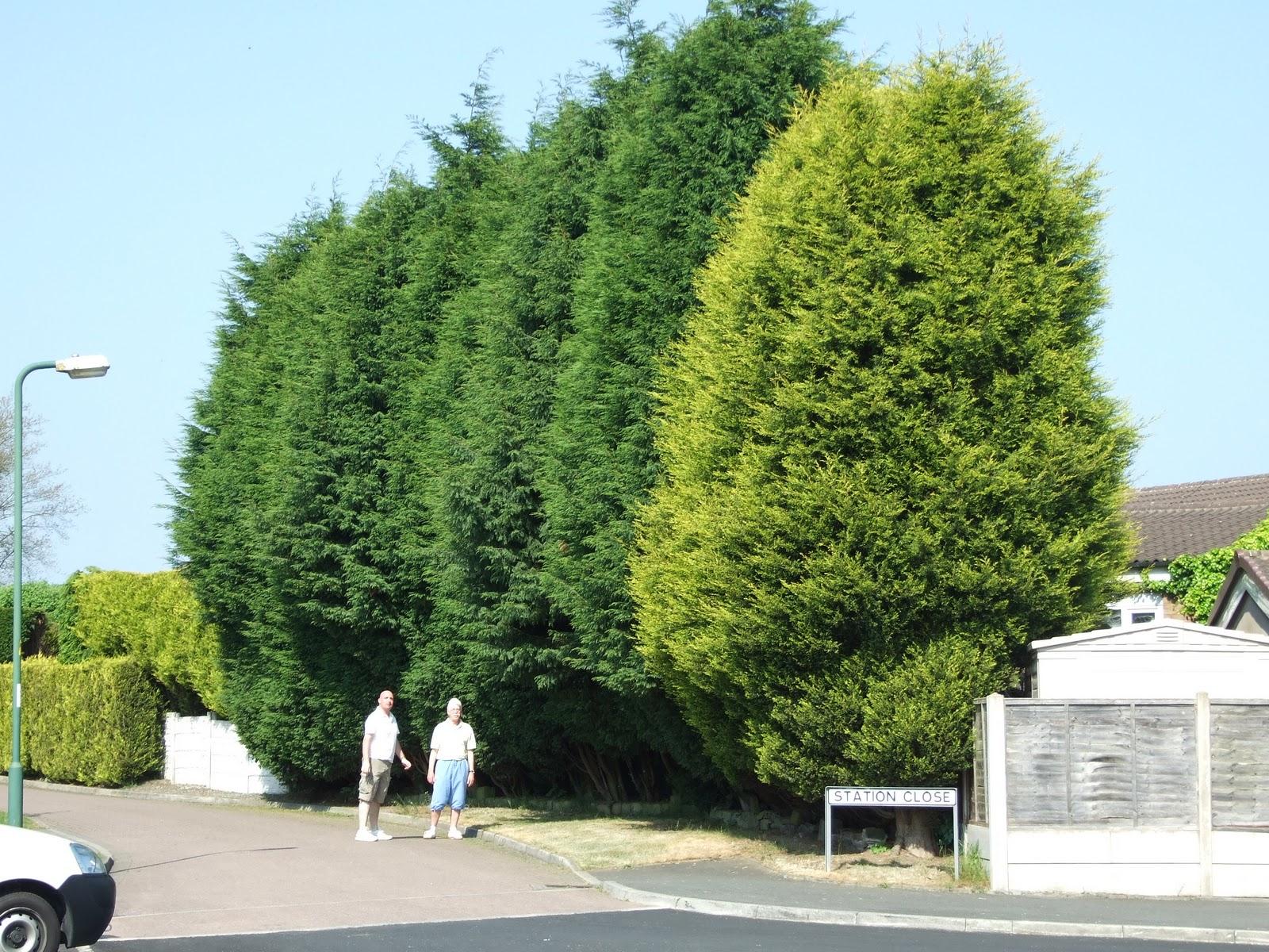 first conifers -#main