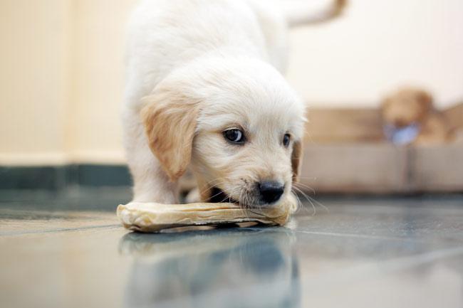 Czy szczeniak może jeść kości?