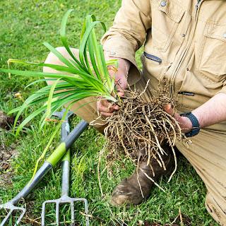 分割した根茎