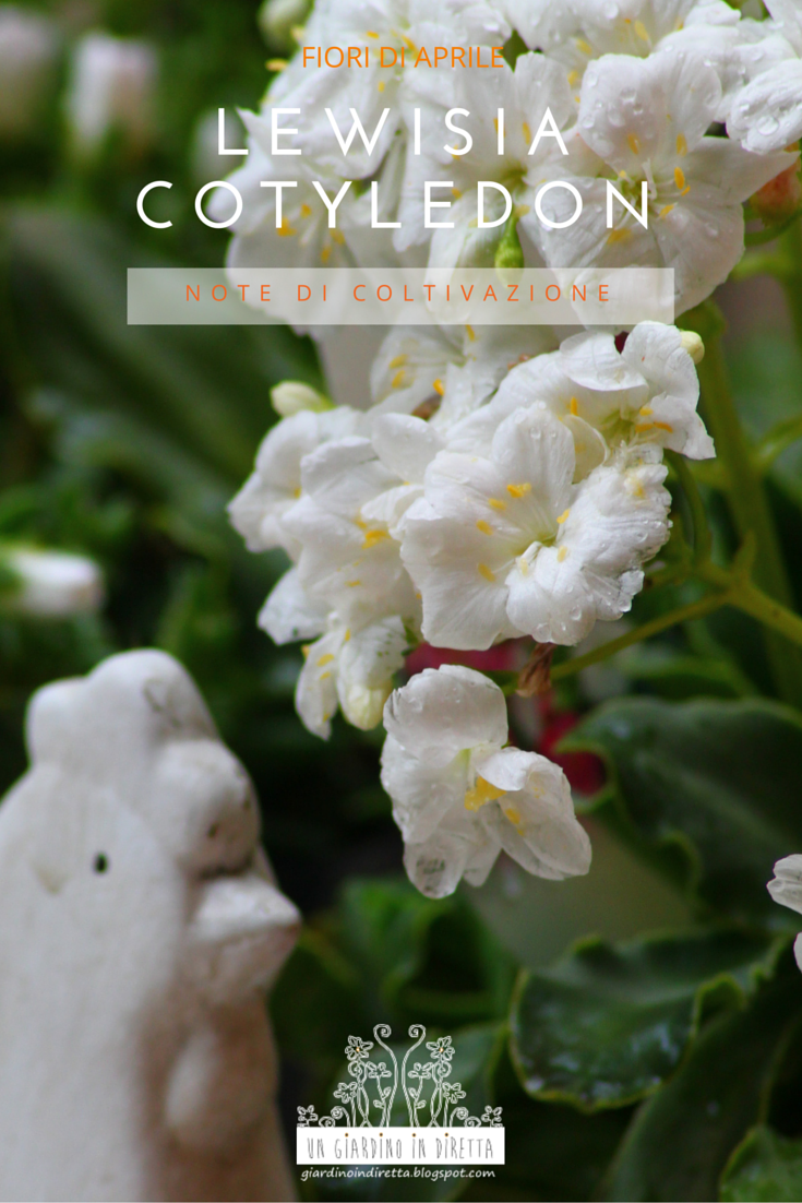 Fiori di aprile lewisia cotyledon un giardino in diretta for Fiori in giardino