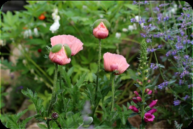 Mohnblüte im Juni 2016 | Arthurs Tochter kocht von Astrid Paul