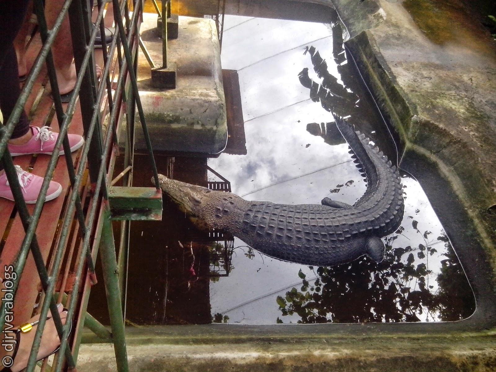 Mac-mac, largest crocodile in Philippines