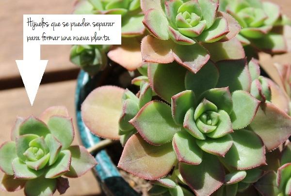 Reproducir plantas suculentas guia de jardin for Planta ornamental que se reproduzca por esquejes