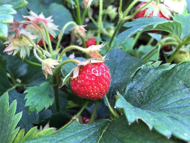 Süsse Erdbeeren Wädenswil 6 auf dem Genussbalkon