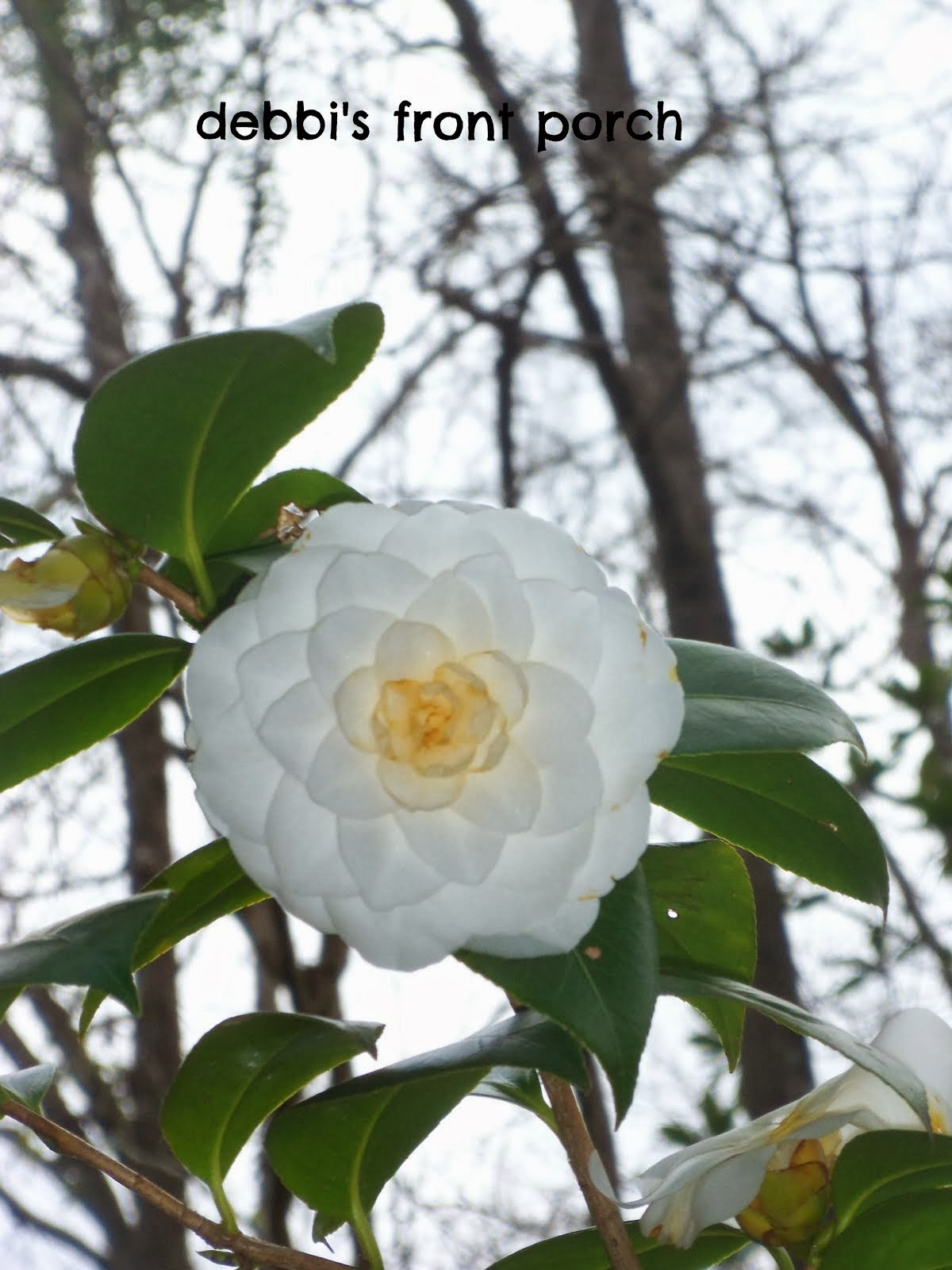 plantation camellias