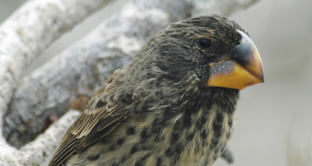 Epigenetics may explain how Darwin's finches respond to rapid environmental change