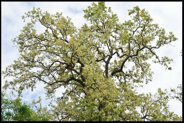 Sự thật về loài hoa Sala thiêng liêng và câu chuyện về Đức Phật