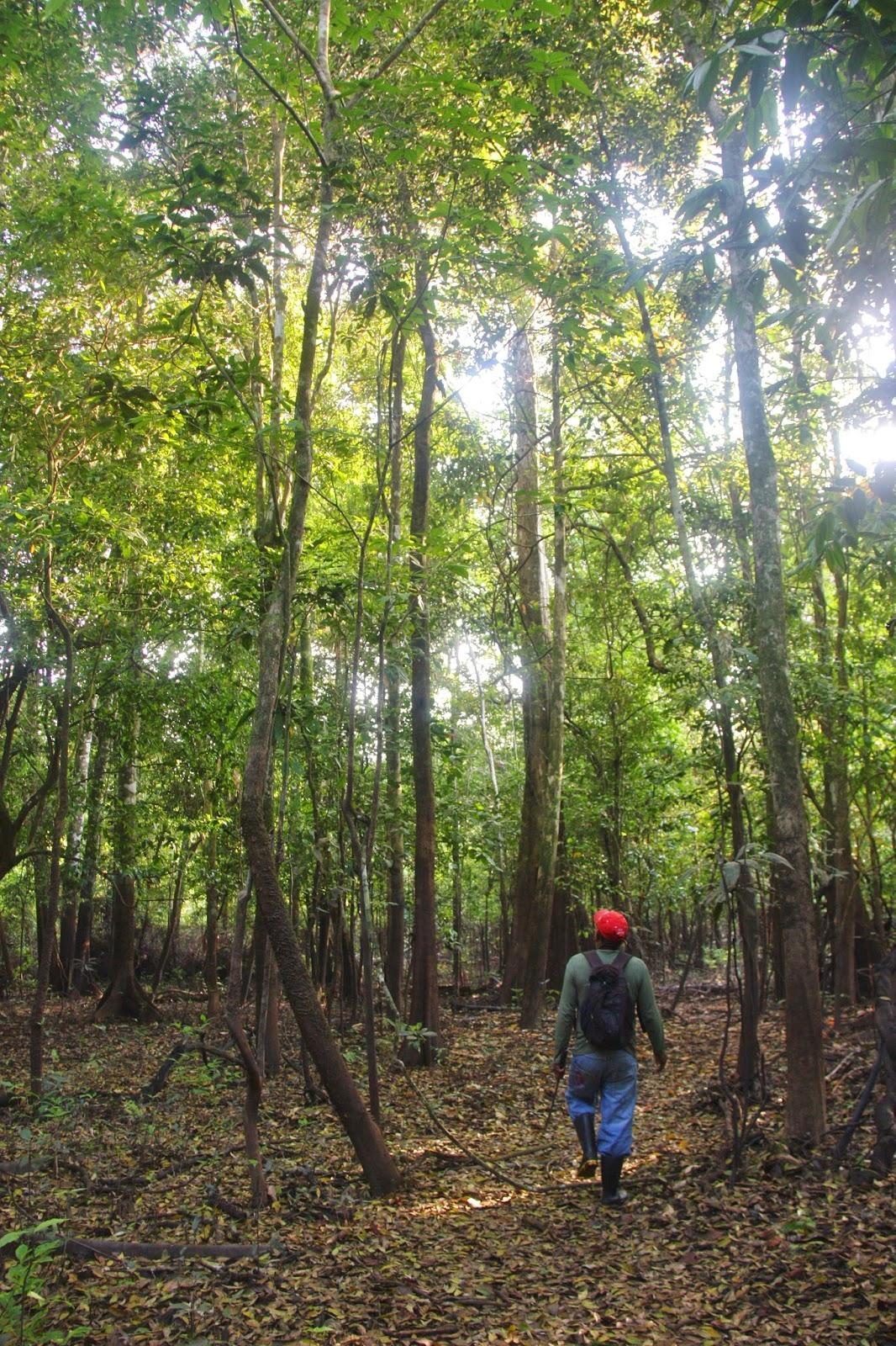 Caminhada pela selva amazônica, na Reserva Mamirauá.