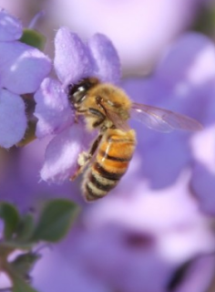 A honeybee feeding on a flower