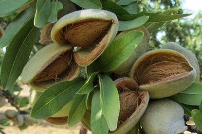 8 benefits of Almonds To Quick Diet and most Recommended