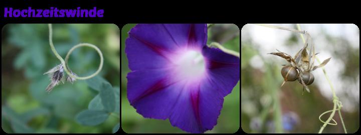 Knospe, Blüte und Samnstand der Winde