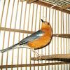 Cara Sederhana Melakukan Penjodohan Burung Anis Merah