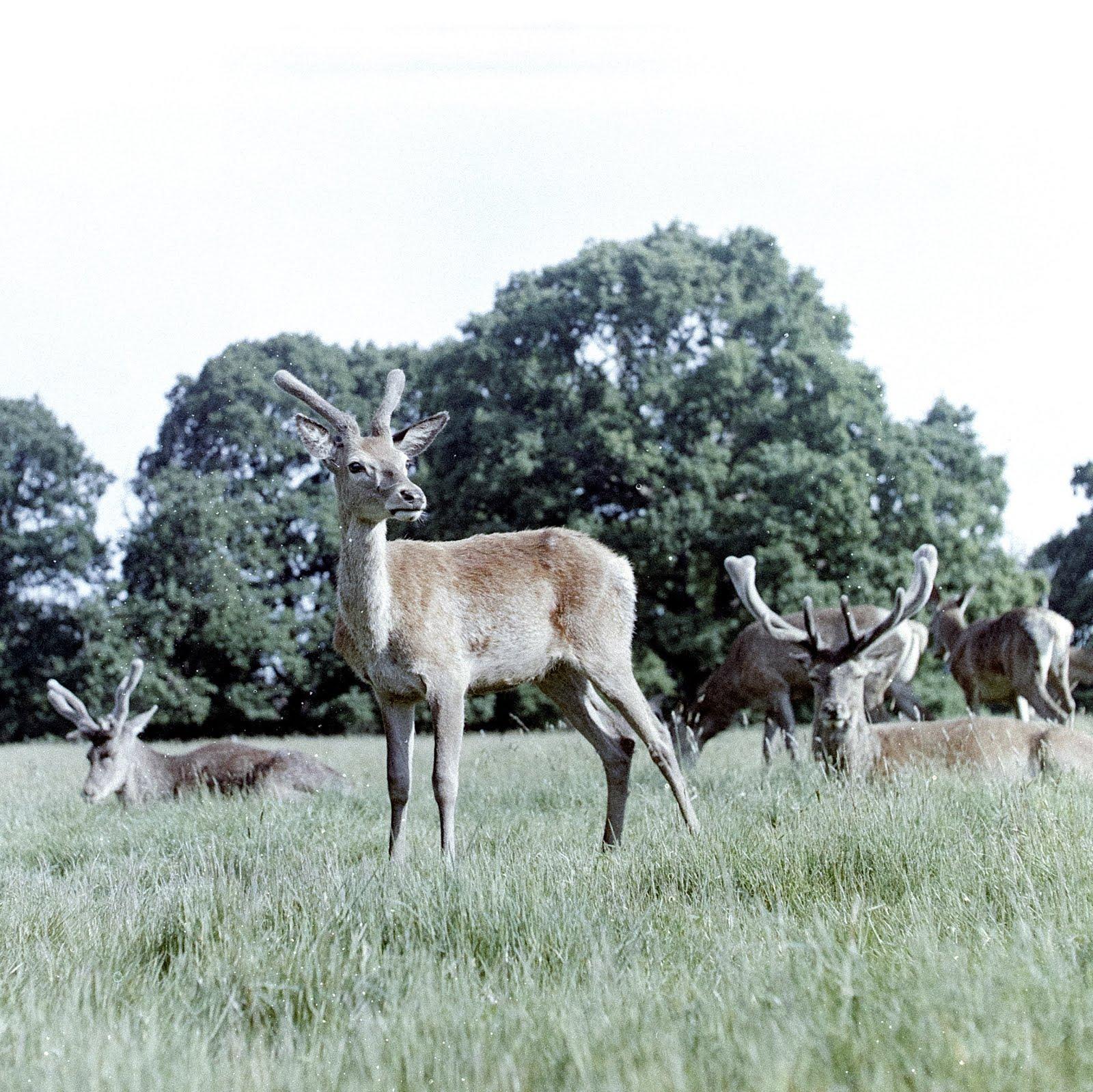Wollaton Park deer taken with lomochrome metropolis 120