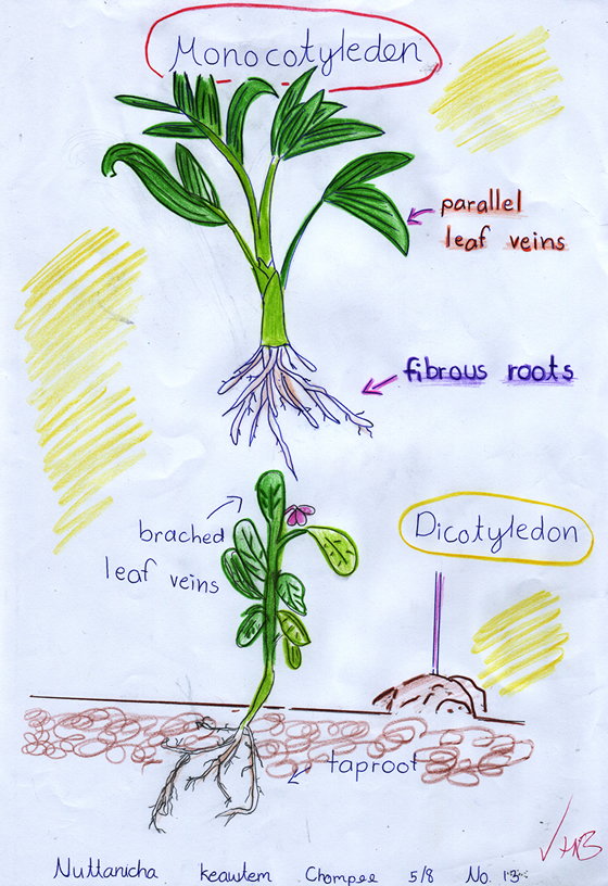 Simplified monocots vs dicots