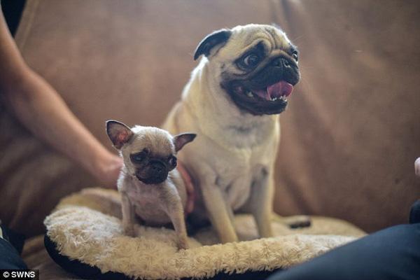 Lạ lùng cô chó tí hon chỉ cao 10cm, nặng 0,5kg
