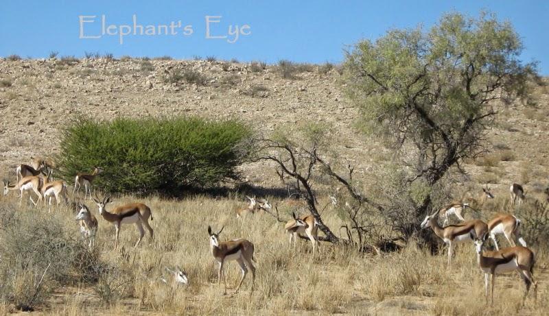 Springbok at Kgalagadi