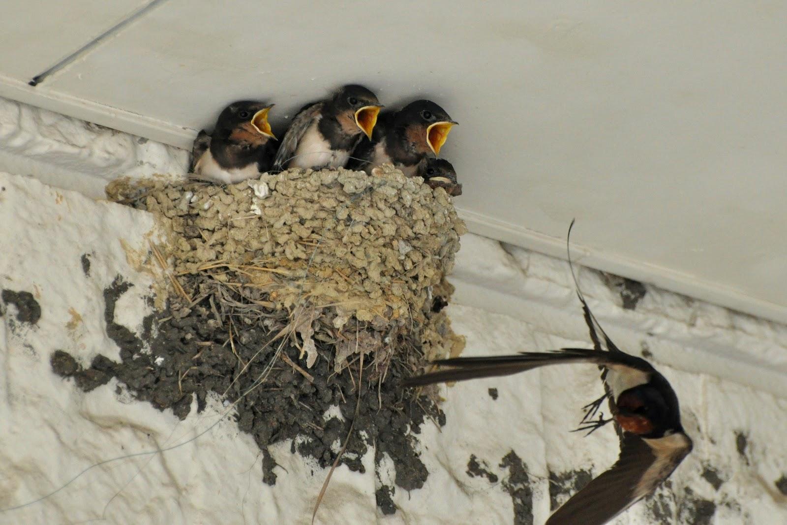 Wings 'n Things: Barn Swallows babies