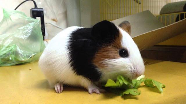 ban-bo-u-chuot-lang-guinea-pig-long-ngan-tai-da-nang