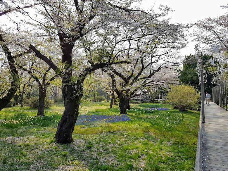 森林之家附近的步道,櫻花吹雪中