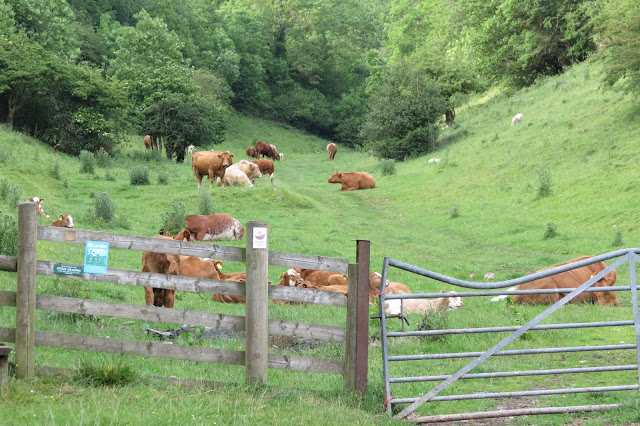 In the foreground, a ramshackle fence and gate - beyond, a path leads through the dale and a herd of large cows.