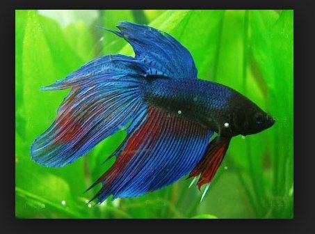 Ikan Hias Termahal - Cupan
