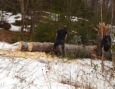 chainsawing spruce trunk