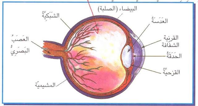 تركيبة العين