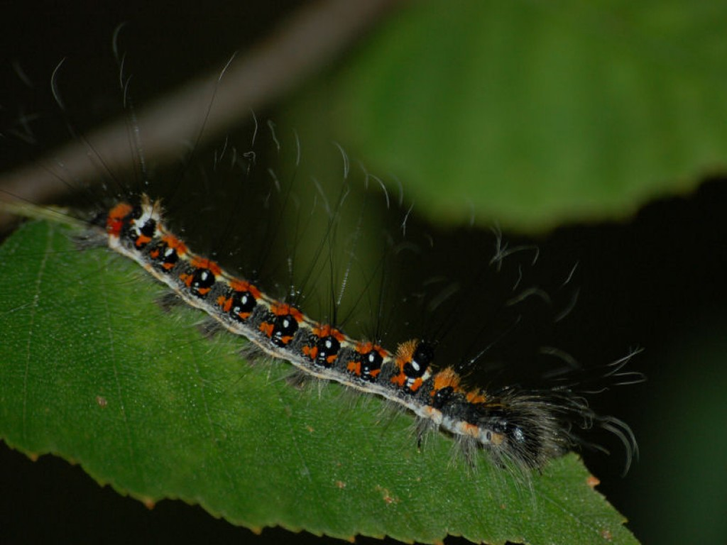 Gray Caterpillars That Are Big: The Grey Dagger And Dark Dagger Moths