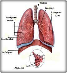 Istilah Penyakit Paru Paru Basah dans paru paru images