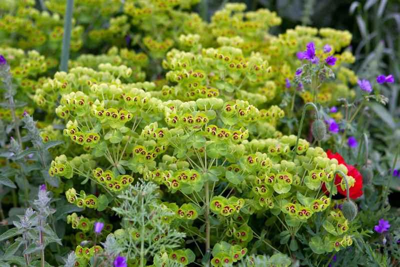 euforbia herbacea, híbrido entre Euphorbia characias y E. amygdaloides
