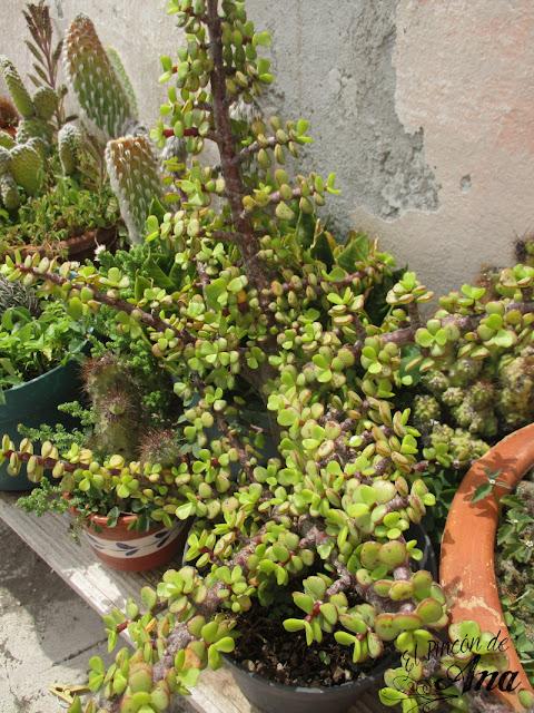 Mis cactus y suculentas