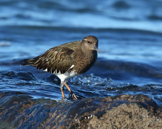 Black Turnstone in Coronado