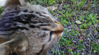 至近距離でそ知らぬ顔をするキジトラ猫