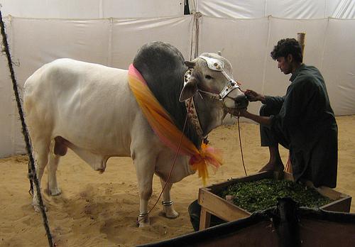Qurbani at eid ul adha 2012 in Pakistan   World Web ...   500 x 348 jpeg 126kB